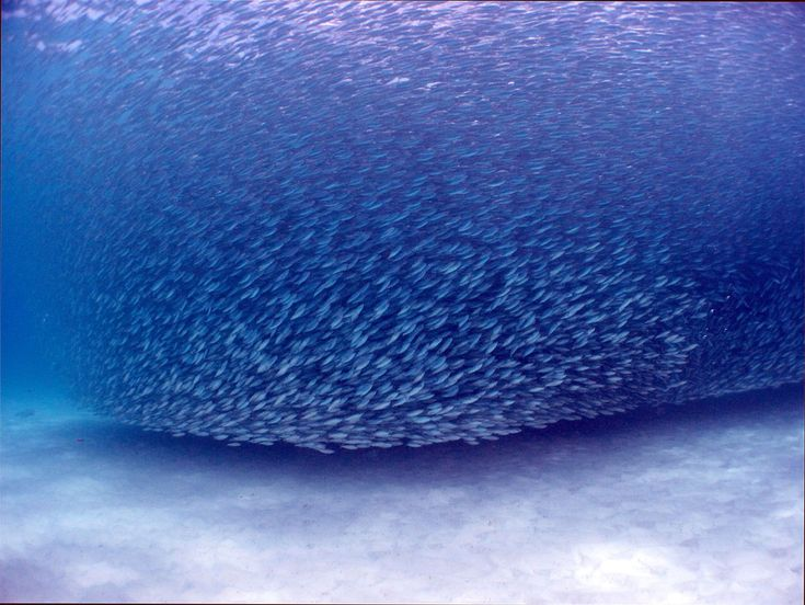 School of Fish. Catalina Islands, Flamingo. Scuba Diving the Pacific Coast, Costa Rica.