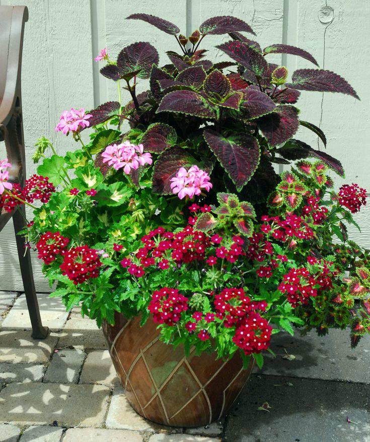 Coleus, geranium, verbena