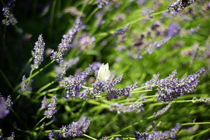 lavender-scented garden on the shore of Lake Balaton