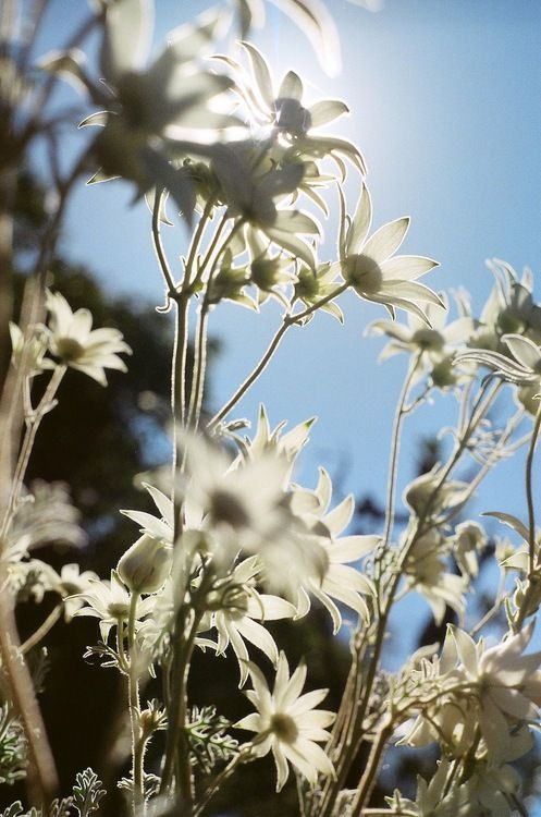 The beautiful flannel flower brings me strong fond memories of growing up in Callala Beach