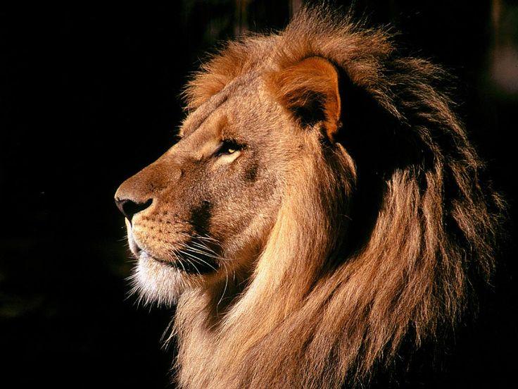 lion profile - Szukaj w Google
