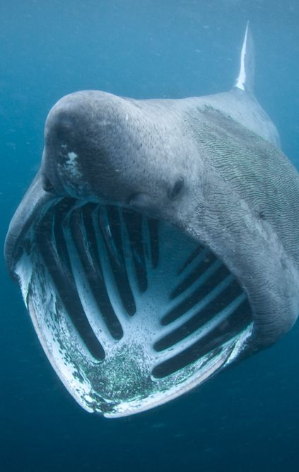 """Basking shark. Don't tell me a man couldn't fit inside the belly of a """"fish"""""""