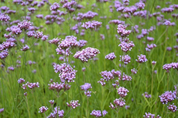 Verbena bonariensis - sporýš argentinský - Krulichovi - zahradnictví, květinářství, trvalky, skalničky, bylinky a koření