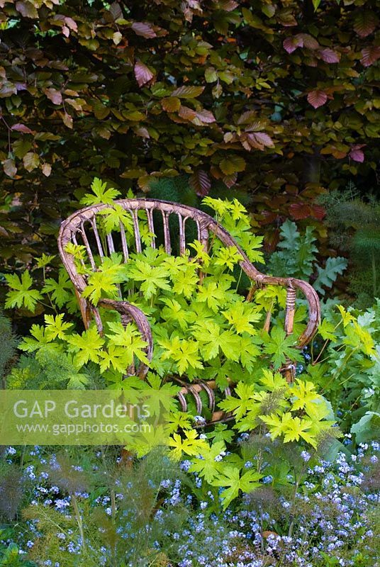 Old wicker seat with Geranium psilostemon 'Ann Folkard', Foeniculum - Bronze Fennel and Myosotis - Forget-me-nots in May