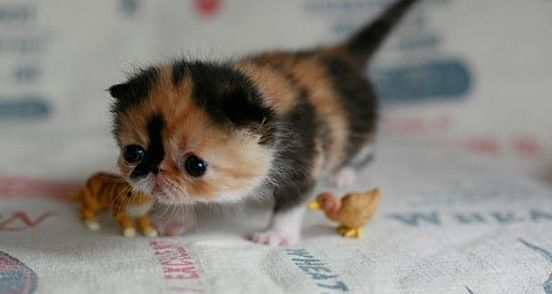 I usually don't like kittens with smooshed faces, but this one is an exception. It is so cute!!! It looks so sad and in need of a hug!!!
