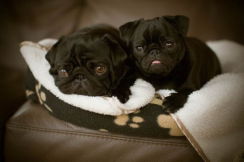 black pug puppies