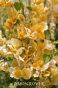 Monrovia's Gold Rush™ Bougainvillea details and information. Learn more about Monrovia plants and best practices for best possible plant performance.