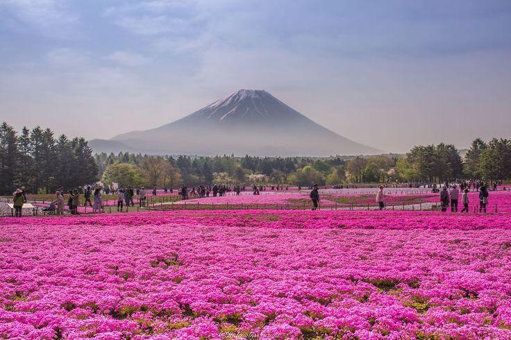 Campos de Shibazakura, Japón  El festival Fuji Shibazakura es un evento anual que celebra el florecimiento de este tipo de musgo en el área de los Cinco Lagos de Fuji. Suele celebrarse entre Abril y Junio y los campos llenos de colores rosas, morados y blancos son impresionantes.