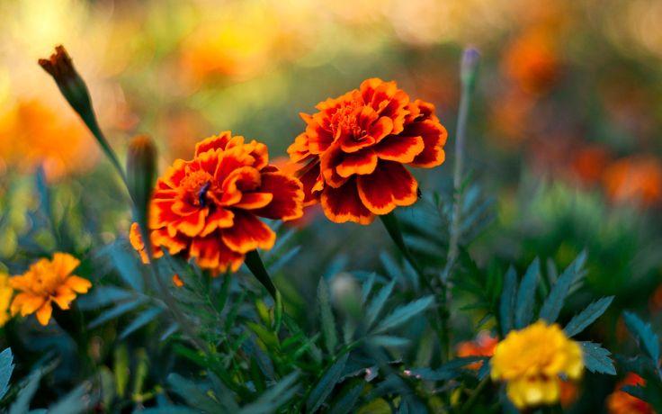 Nice Flowers Wallpapers | Free Desk Wallpapers 3