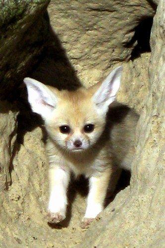 Dumbo of the fox world