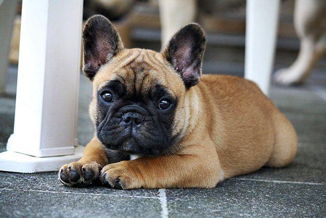 French Bulldog Puppy, Frenchie <3