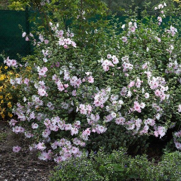 Lavatère Barnsley Baby Vivace arbustive à fleurs blanc