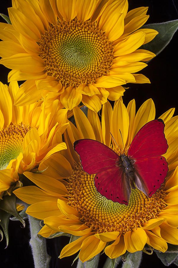 Red buttefly and three sunflowers