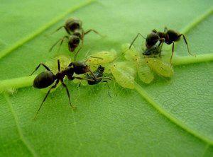 Кто поделиться своим опытом, как вывести муравьев из сада огорода