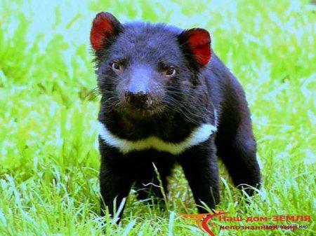 Тасманийский дьявол.