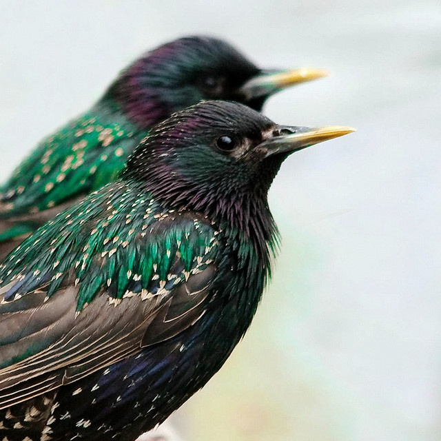 Max Lakavage, 10/8/13: I'm all about the vibrant green on these starlings. It's smoothly contrasted with the light browns and white that speckle its back, and accented with a maroon/dark red. I especially like the shapes that the feathers make across its back.