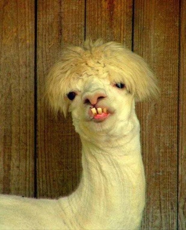 Funny Looking Llama : funny, looking, llama, Funny, Pictures, Animals,, Animals