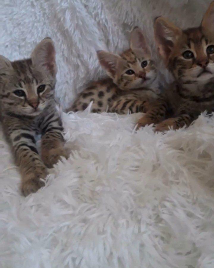 Pin On Bengal Kitten