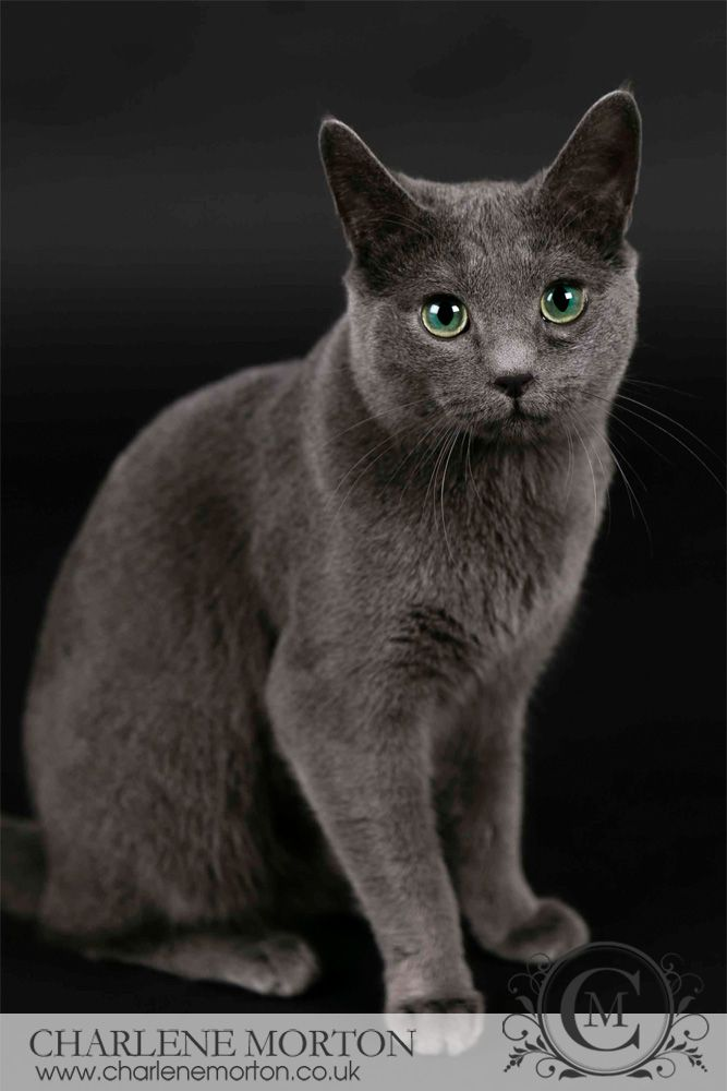 Russian blue cat photography
