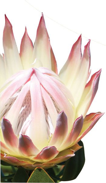 Maui Flower Growers' Association - Flower Varieties - Protea