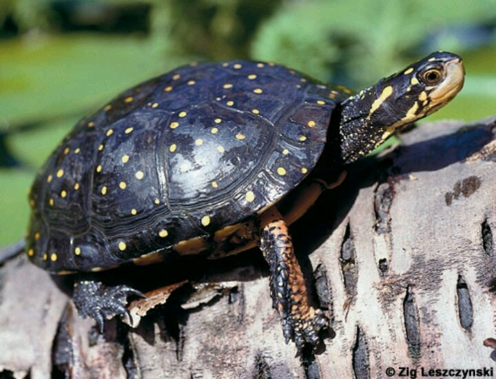 Spotted turtle °°°°