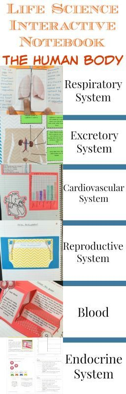 Human Body activities for the Science Interactive Notebook engaging activities, teacher notes and quizzes with answer keys. This is Part 2 in a series on The Human Body be sure to check out Part 1!