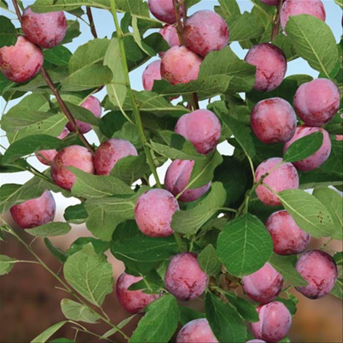 Pruimenboom Opal  Pruimenboom Opal  Prunus domestica 'Opal' ( Rosaceae ) De domestica Prunus Opal is een zeer betrouwbare pruimenboom. Hij produceert in de zomer heerlijke rood-paarse vruchten met zacht geel vruchtvlees. Deze zelfbestuivende Pruimenboom kan worden gebruikt om andere, niet zelfbestuivende vruchten, te bestuiven. Eetbaar fruit Oogsttijd augustus - september Volgroeide hoogte 2 - 3 m Volgroeide breedte 1. 50 - 2 m