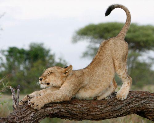 La méridienne du lion, Victor Hugo Le lion dort, seul sous sa voûte.Il dort de ce puissant sommeilDe la sieste, auquel s'ajoute,Comme un poids sombre, le soleil.Les déserts, qui de loin écoutent,Respirent ; le maître est rentré.Car les solitudes redoutentCe promeneur démesuré.Son souffle soulève son ventre ;Son oeil de brume est submergé,Il dort sur le pavé de l'antre,Formidablement allongé.La paix est sur son grand visage,Et l'oubli même, car il dort.Il a l'altier sourcil du…