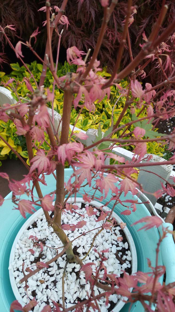 Růžový javor
