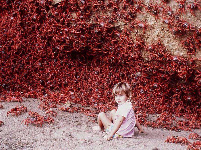 Il y a plus de 120 millions de crabes sur l'île de Noël, située en Australie ! Au cours de la fin de l'automne et au début de l'hiver, ces crabes, en masse, se frayent un chemin jusqu'à l'océan pour s'accoupler