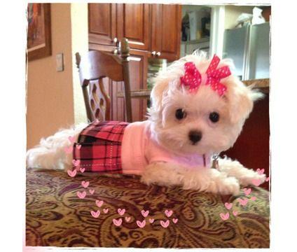 Beautiful Female Maltese is a Female Maltese Puppy For Sale in Hialeah FL