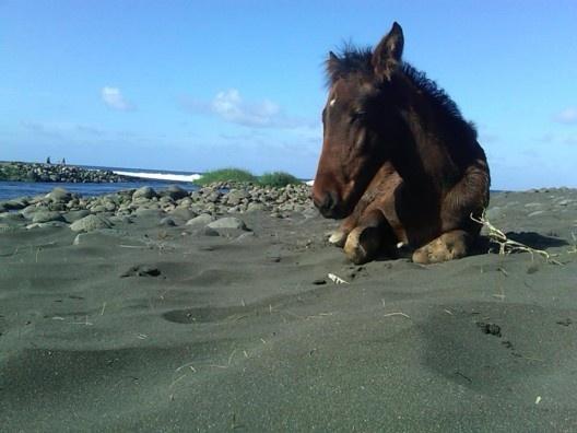 Wild horse in Hawaii