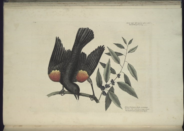 Free Natural History Museum Bird Prints