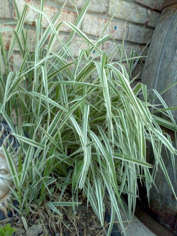 Ornamental grass tiger stripe invasive my gardens for Tall grass with plumes