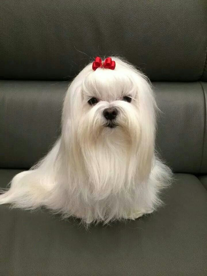 Pictures of White Teacup Maltese Poodle - #rock-cafe