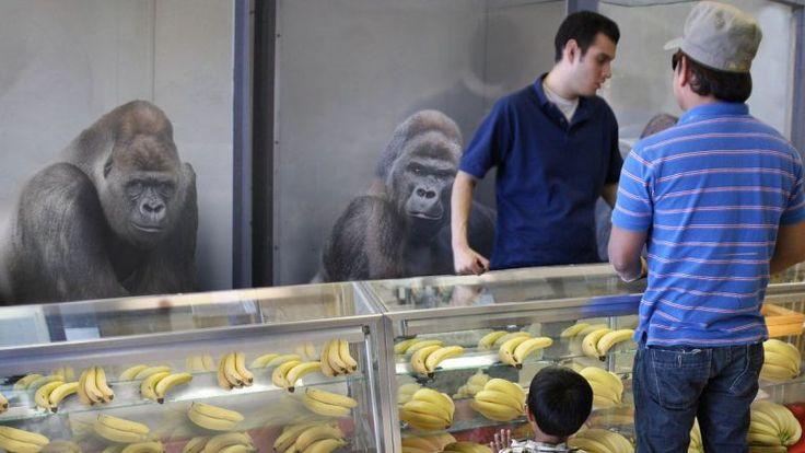 Gorilla Sales Skyrocket After Latest Gorilla Attack – Memed