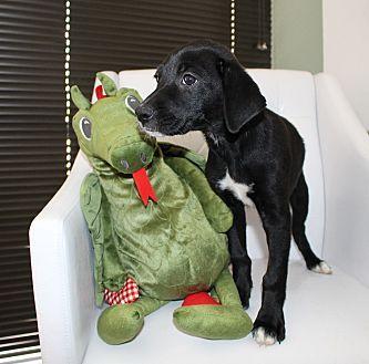 Labrador Retriever Mix Puppy for adoption in San Francisco, California - Dottie