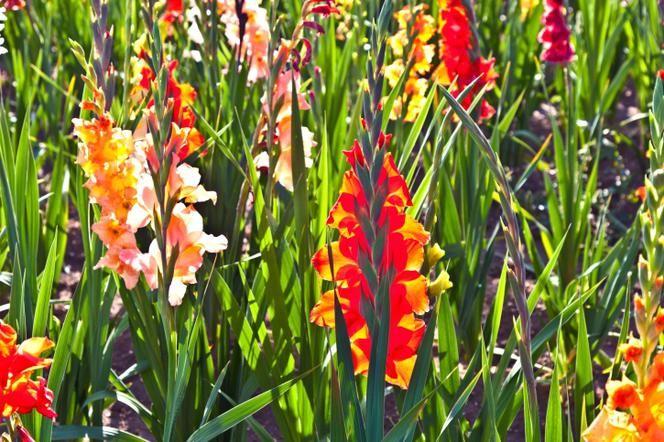 Mieczyk Ogrodowy To Ceniona Roslina Ozdobna O Okazalych Kwiatach Podpowiadamy Jak Uprawiac Mieczyki W Ogrodzie Poznaj Najpopularniejsze Odmiany Mieczyka Plants