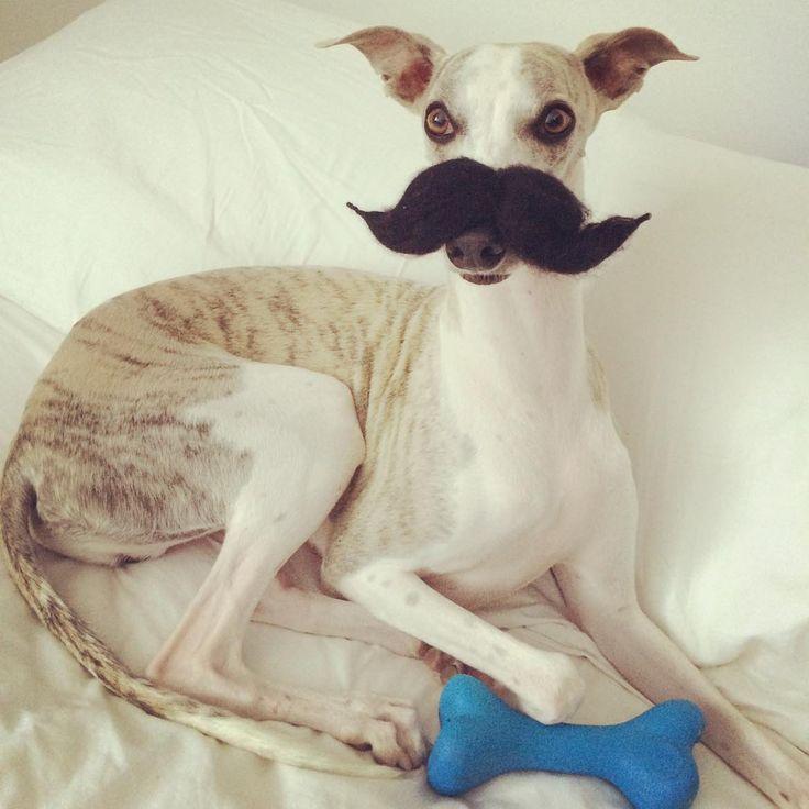 """""""El Galgo hoy se puso un bigote porque quiere que Halloween sea ya! ❤️ Ustedes ya tienen listos los disfraces de sus hijos de 4 patas? Si es así entonces…"""""""