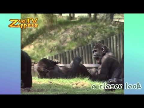Zoo Safari - birth of a baby Gorilla - YouTube