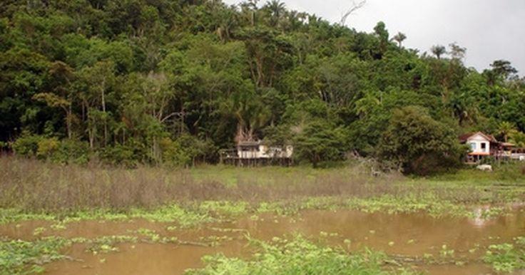 Plantas amazónicas en peligro de extinción. Desde las orillas del río Amazonas hasta las copas de los arboles más altos, la selva tropical homónima aloja miles de especies y plantas. Algunas de estas plantas están en peligro de extinción, poniendo en riesgo a miles de otras subespecies. Estas plantas alojan y colaboran con el hábitat de otras plantas, animales e insectos, y todo riesgo para ...