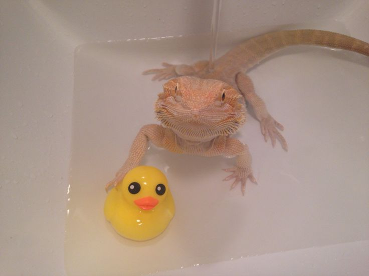 Beardie bath time with his rubber duckie <3