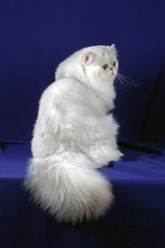 Persian Cat Pictures [Slideshow]