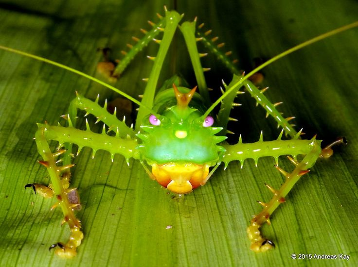 Spiny devil katydid, Panacanthus cuspidatus from the Amazon rainforest near…