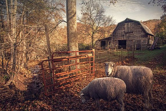 Sheep Photo Country Barn Photograph Rustic Landscape