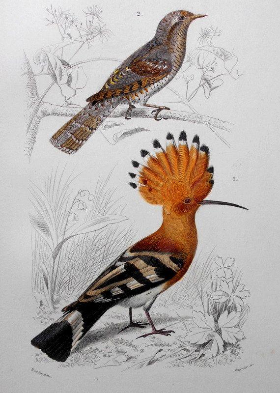 Oiseau huppe fasciée 1849 et gravure Torcol par DiscoverMaps