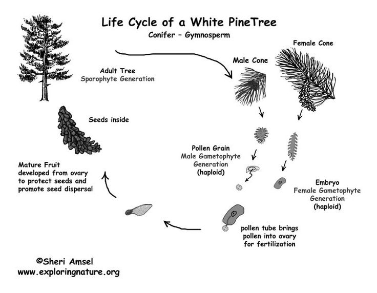 Printable black and white PDF of pine life cycle (gymnosperm)