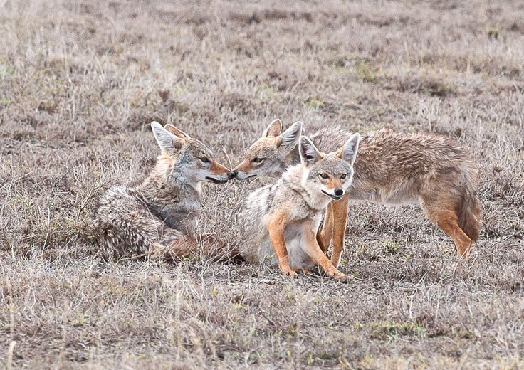 a family of golden Jackels