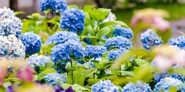 アジサイ(紫陽花)の育て方!苗の鉢植えや地植え、植え替えの方法は?