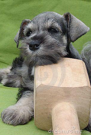 Schnauzer puppy on a woodbone by Pixbilder, via Dreamstime